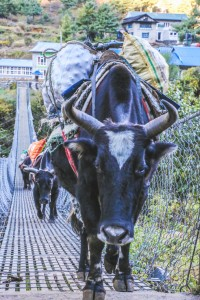 Yaks carry goods across a bridge.